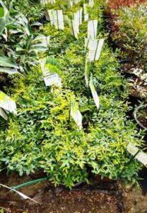 Abelia Shrub Planted in Frisco Texas