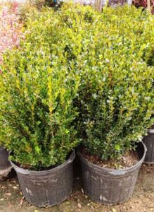 Boxwood Bushes in Planters