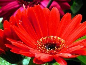 Gerbera Daisy Flower