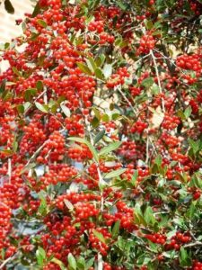 Holly Evergreen