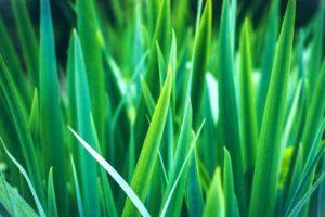Zoysia Sod Grass