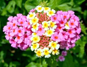 Lantana Flower Annuals