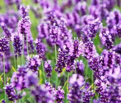 Lavender, best natural mosquito repellent
