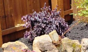 Purple Loropetalum Shrub