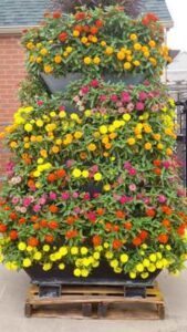 English Marigold Flower