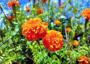 Marigold, annual flower, natural mosquito repellent