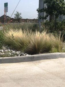 Mexican Feather Grasses