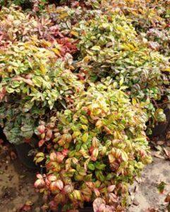 Nandina Plant