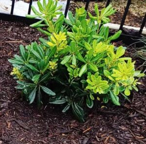 Pittosporum Evergreen Shrub