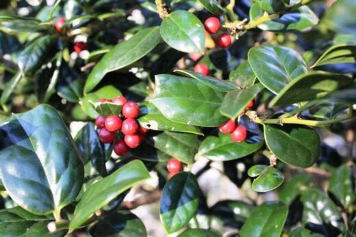 Popular Evergreen Shrubs for Collin County Texas