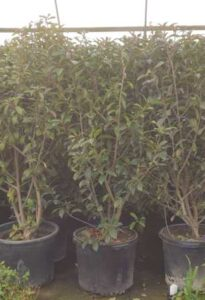Red Tip Photinia Hedges