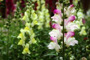 Snapdragon Antirrhinum Flowers