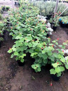 Turk's Cap Perennial Plants