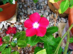 Vinca Annual Flowers