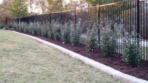 Best Privacy Fence Shrubs