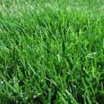 Emerald Zoysia grass maintenance